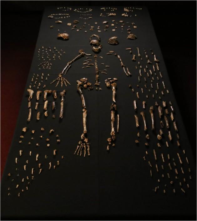2013년 11월과 2014년 3월 두 차례에 걸쳐 발굴된 호모 날레디 화석. 1550점에 이르는 엄청난 양으로 아프리카 고인류학 발굴 사상 최대 규모다. - eLife 제공